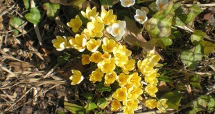 Die Krokusse sprießen - der Frühling ist da!