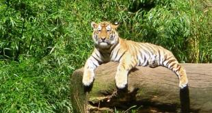 Der Tiger genießt die herrliche Frühlingssonne: Im Tiergarten Nürnberg lassen sich heimische und exotische Tiere erleben.