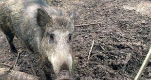 Schwein gehabt: Das große Wildschweingehege im Fürther Stadtwald ist von einem robusten Zaun umgeben.