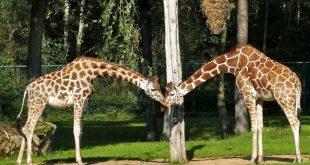 Tiergarten Nürnberg öffnet nach Corona-Pause am 11. Mai 2020: Die Giraffen-Damen Lifty und Lubaya freuen sich auf Besucher (Foto: Dr. Dag Encke / Stadt Nürnberg)